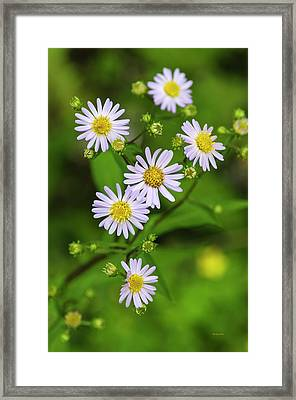 Pretty Purple Aster Flowers Framed Print by Christina Rollo