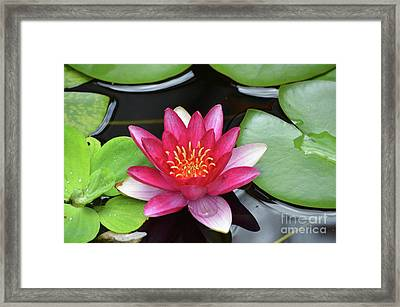 Pretty Red Water Lily Flowering In A Water Garden Framed Print