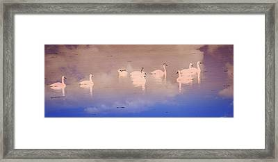Pretty Swans All In A Ro Framed Print by Marty Koch