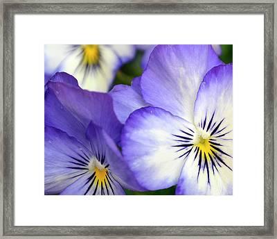 Pretty Violas Framed Print by Ann Bridges
