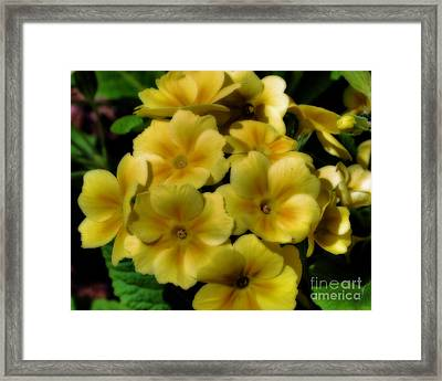 Framed Print featuring the photograph Pretty Yellow Primrose by Smilin Eyes  Treasures