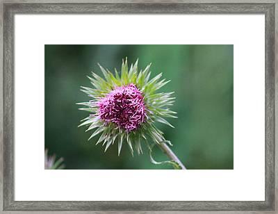 Prickly Flower Framed Print by Callie Culp