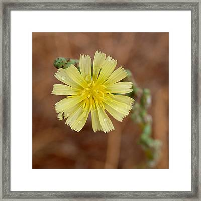 Prickly Lettuce Flower - Lactuca Serriola Framed Print