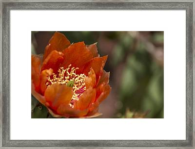 Prickly Pear Bloom Framed Print