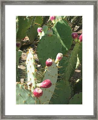 Prickly Pear Buds Framed Print by Deborah Hildinger