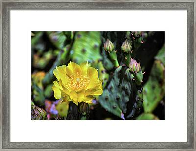 Prickly Pear Cactus Flower On Assateague Island Framed Print