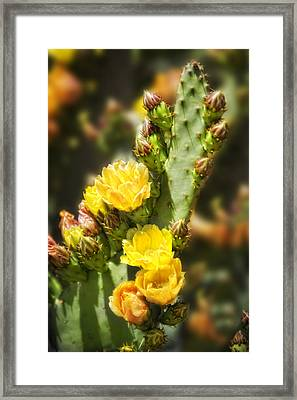 Prickly Pear Cactus In Bloom Framed Print