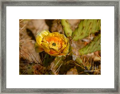 Prickly-pear Framed Print by Robert Bales
