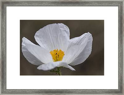 Prickly Poppy Framed Print