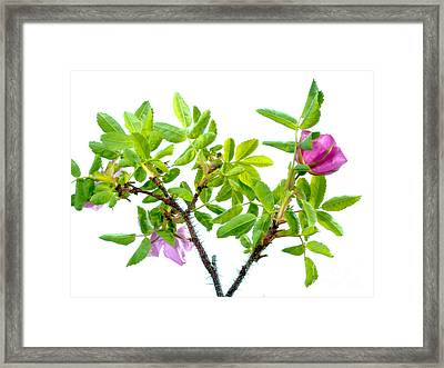 Prickly Wild Rose Rosa Acicularis Isolated Framed Print by Stephan Pietzko