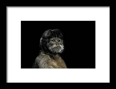 Capuchin Framed Prints