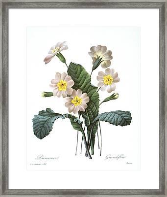 Primrose (primula Aucalis) Framed Print by Granger