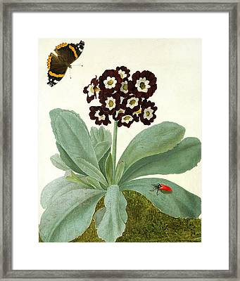 Primula Auricula With Butterfly And Beetle Framed Print by Matilda Conyers