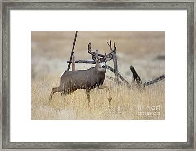 Prince Of The Prairie  Framed Print