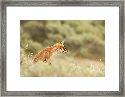 Princess Of The Hill - Red Fox Sitting On A Dune Framed Print