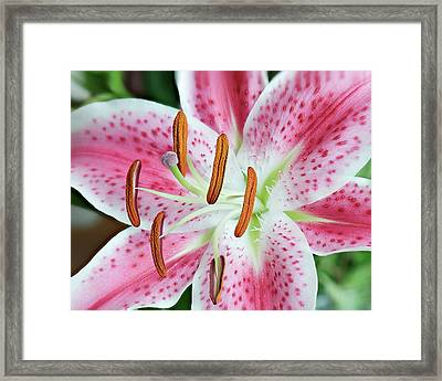 Framed Print featuring the photograph Pristine Lily by Len Romanick