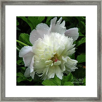 Pristine Peony Framed Print by Deborah Johnson