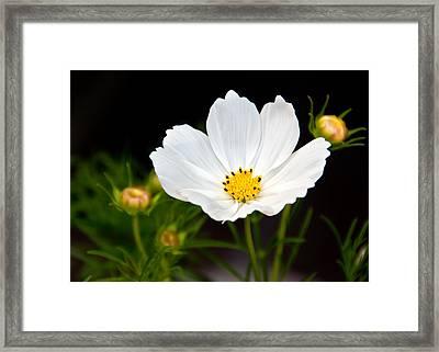 Pristine Poppy Framed Print