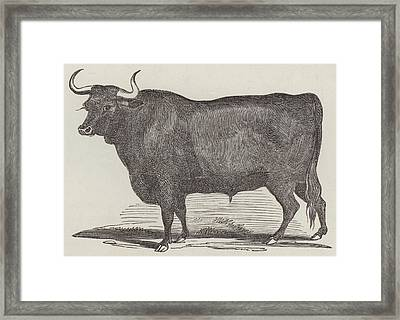 Prize Devon Ox Framed Print by English School