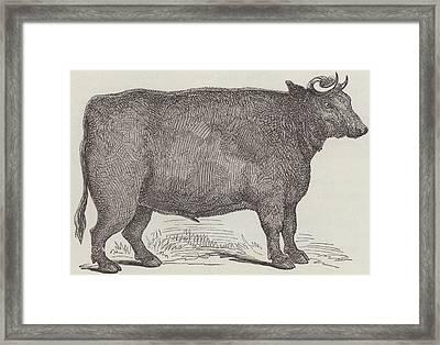 Prize Ox Framed Print