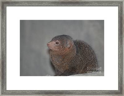 Profile And Face Of A Dwarf Mongoose Framed Print