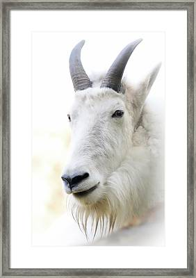 Profile Mountain Goat Framed Print by Athena Mckinzie