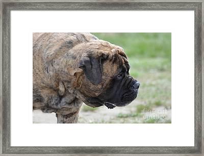 Profile Of A Bullmastiff Dog Framed Print