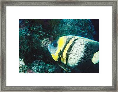 Profile Of A Cortez Angelfish Framed Print by James Forte