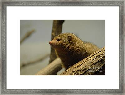 Profile Of A Mongoose Peering Out Of A Fallen Log Framed Print