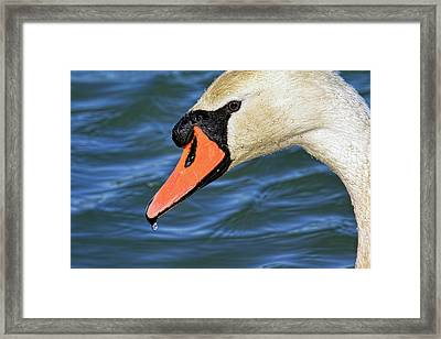 Profile Of A Mute Swan Framed Print by Geraldine Scull