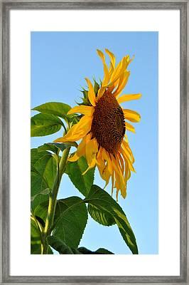 Profile Of A Sunflower Framed Print by Kathleen Sartoris