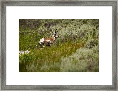 Prong Horn Framed Print by Chad Davis
