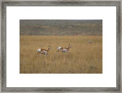 Pronghorn Antelope At The Charles M Framed Print