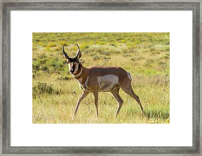 Pronghorn Antelope Buck Framed Print by James Marvin Phelps