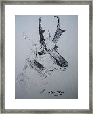 Pronghorn Antelope Framed Print by Ken Day