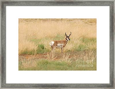 Pronghorn Buck Framed Print by Dennis Hammer