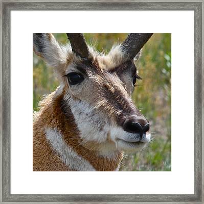Pronghorn Buck Face Study Framed Print by Karon Melillo DeVega