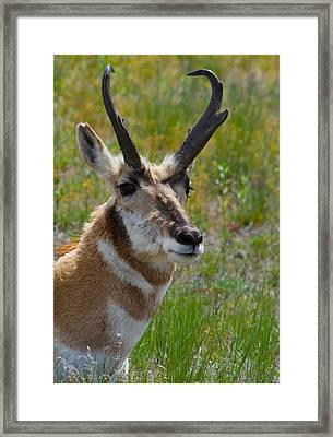 Pronghorn Buck Framed Print