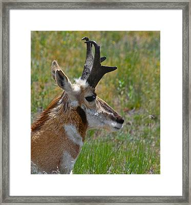 Pronghorn Buck Profile Framed Print
