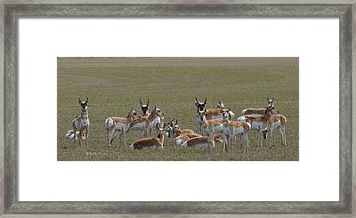 Framed Print featuring the photograph Pronghorns On Alert by Kae Cheatham