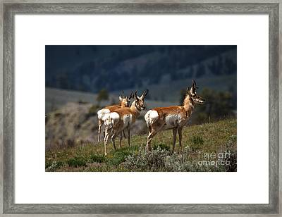 Pronghorns Framed Print
