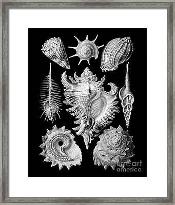 Prosobranchia, Vintage Sea Life Mollusca And Gastropods Illustration Framed Print
