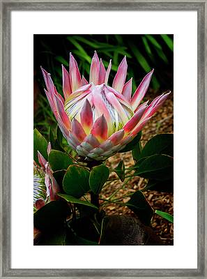 Protea Flower Framed Print by Kelley King