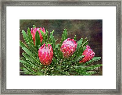 Framed Print featuring the photograph Proteas In Bloom By Kaye Menner by Kaye Menner