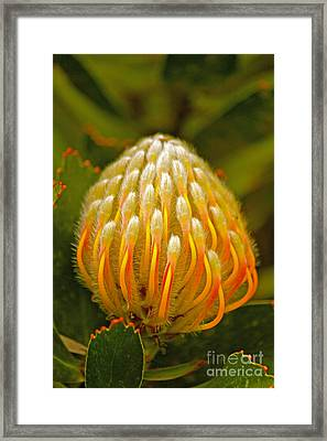 Proteas Ready To Blossom  Framed Print by Michael Cinnamond