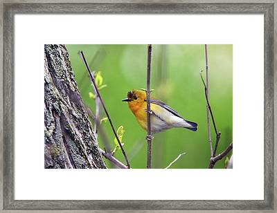 Prothonotary Warbler Framed Print by David Yunker