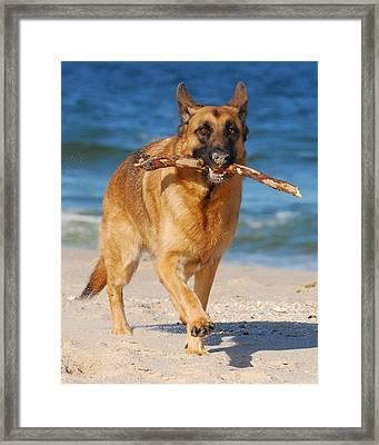 Proud And Happy - German Shepherd Dog Framed Print