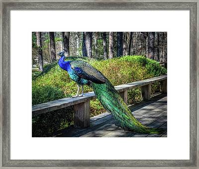 Proud As A Peacock Framed Print by James Barber
