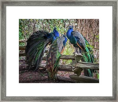 Proud As Three Peacocks Framed Print