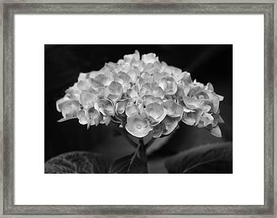 Proud Blue Hydrangea Black And White Framed Print